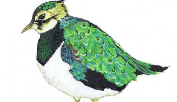 mr-lapwing.jpg